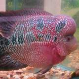 ��ԣ������߽����/�������޺��� flowerhorn KML big-red baseͼƬ